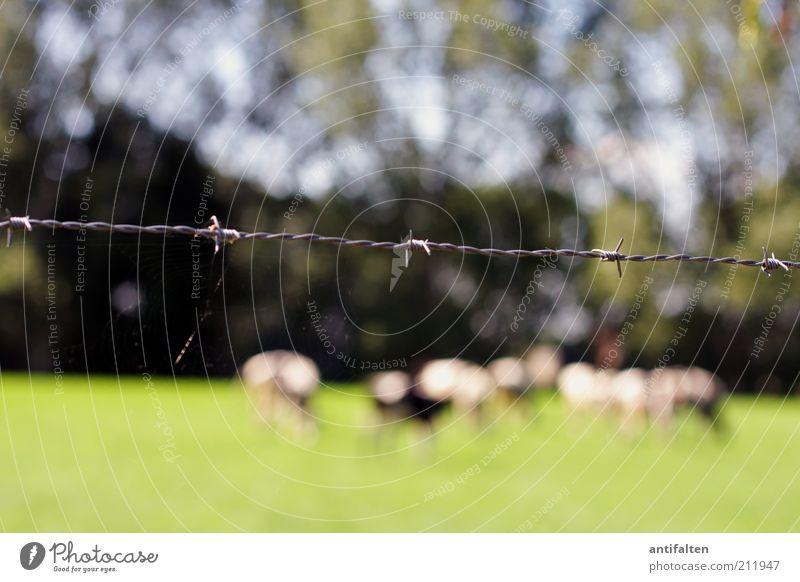 Leben hinter Stacheldraht Natur schön weiß grün blau Sommer Tier Wiese Gras Landschaft Feld Tiergruppe stehen Kuh Schönes Wetter Fressen