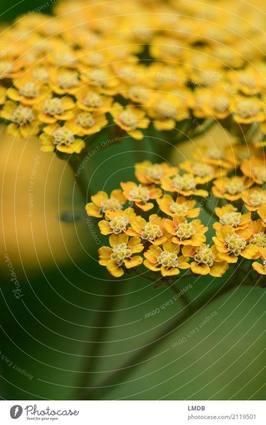 Schafgarbe *** Umwelt Natur Pflanze Blume gelb grün Heilpflanzen Kräuter & Gewürze Blüte Doldenblüte Gewöhnliche Schafgarbe Blühend Farbfoto Außenaufnahme