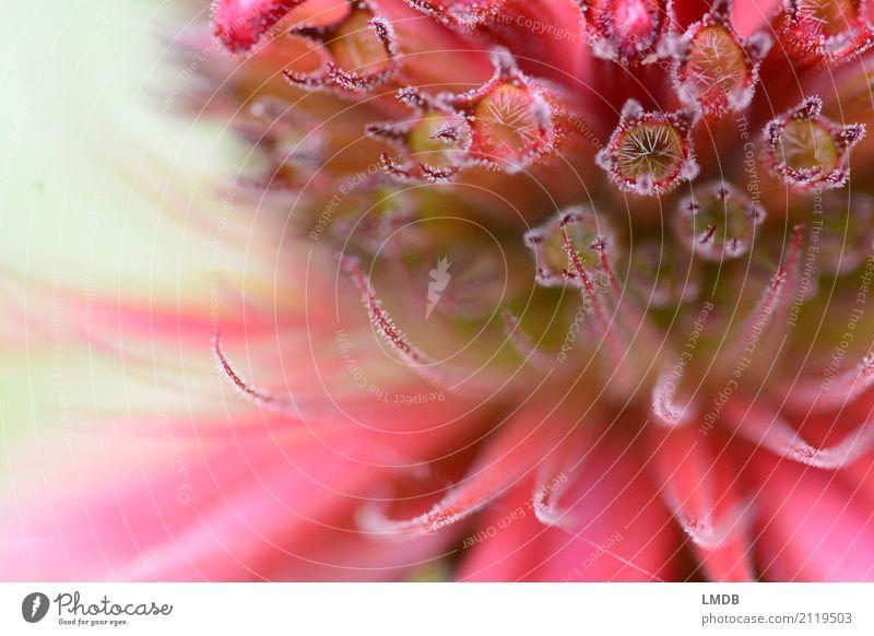 Indianernessel-Blüte Natur Pflanze Blume rot Melisse Heilpflanzen Lippenblüter purpur rosa fein zart Detailaufnahme Hintergrundbild Stern (Symbol) Farbfoto