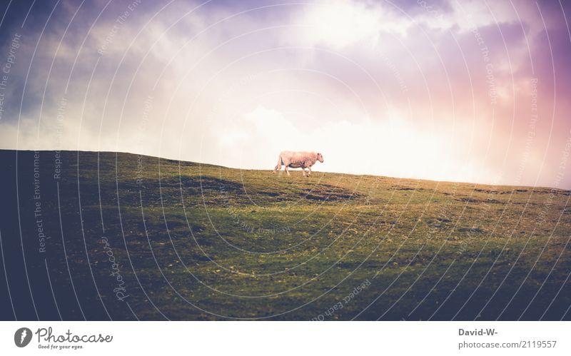 Schäfchen Himmel Natur Sommer schön Sonne Landschaft Tier Wolken Umwelt Frühling Herbst Wiese Horizont Wetter laufen Schönes Wetter
