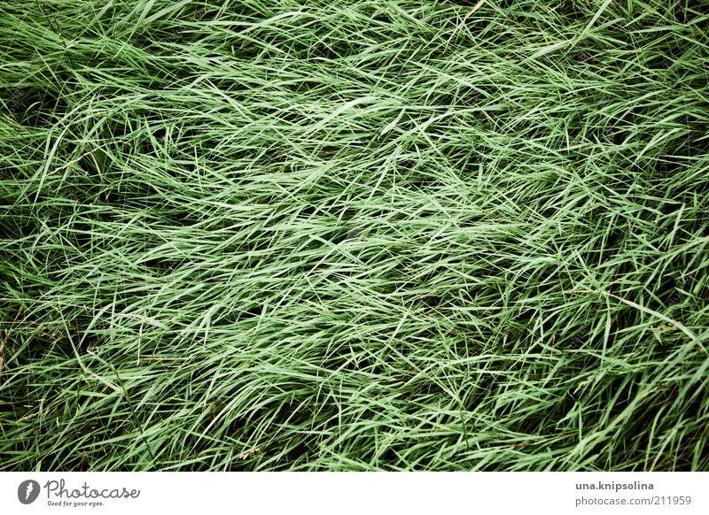 gestrypp Natur Pflanze Gras grün Graswiese Grasbüschel wehen Linie durcheinander Tag Farbfoto Gedeckte Farben Außenaufnahme abstrakt Muster Strukturen & Formen