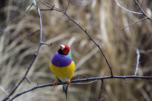 Ganz schön bunt getrieben Natur blau rot ruhig Tier gelb Farbe Freiheit Zufriedenheit Vogel klein elegant sitzen frisch ästhetisch