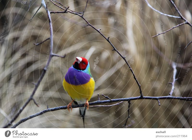 Ganz schön bunt getrieben Natur schön blau rot ruhig Tier gelb Farbe Freiheit Zufriedenheit Vogel klein elegant sitzen frisch ästhetisch