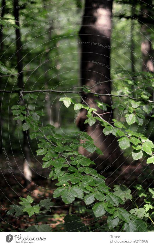 Spaziergang im Wald Natur Sonnenlicht Sommer Pflanze Baum Blatt braun grün Laubwald Mischwald Buchenblatt Zweige u. Äste Waldboden Schönes Wetter