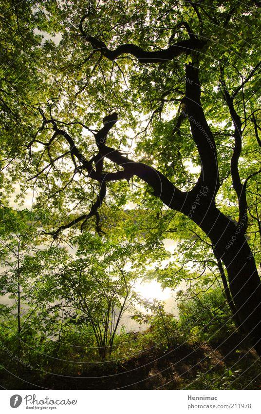 Sehnsucht. Sommer Umwelt Natur Wasser Baum Sträucher Blatt Wald Flussufer See alt grün geheimnisvoll Wachstum Kontrast Silhouette verzweigt Farbfoto
