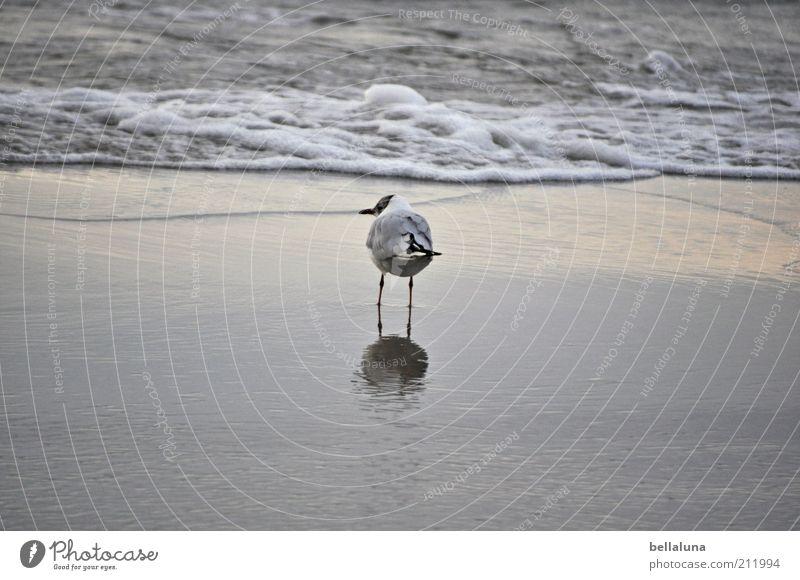 Und ich bin wieder allein, allein... Umwelt Natur Wasser Sommer Wetter Schönes Wetter Wellen Strand Ostsee Meer Tier Wildtier Vogel Flügel 1 stehen Möwe