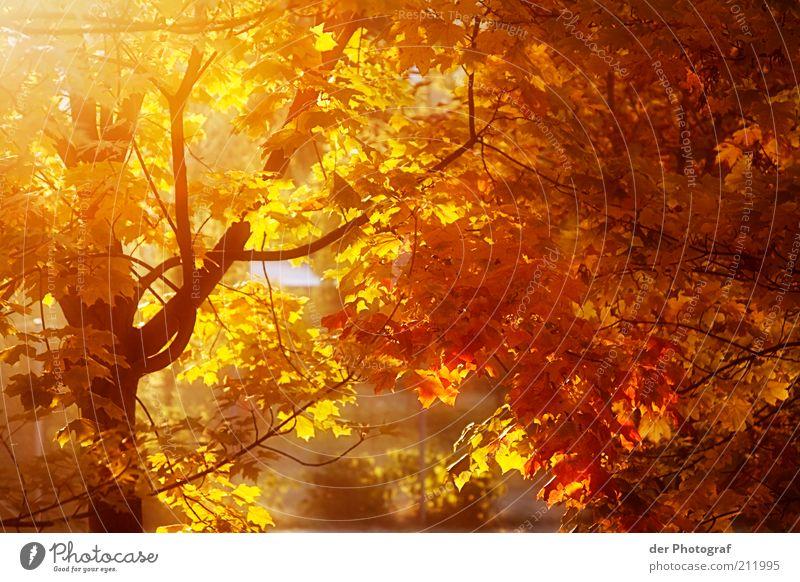 The fall Natur Pflanze Herbst Baum Kastanienbaum Leichtigkeit Jahreszeiten Wärme Farbfoto Außenaufnahme Dämmerung Sonnenlicht Sonnenstrahlen herbstlich