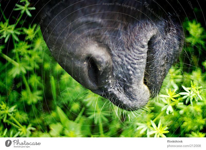 Eselsschnauze Natur Sommer Gras Grünpflanze Tier Nutztier Pferd 1 entdecken füttern Farbfoto Außenaufnahme Nahaufnahme Detailaufnahme Holga Textfreiraum links
