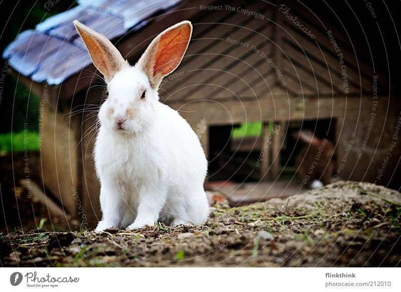 Mein Name ist Hase Umwelt Natur Schönes Wetter Tier Haustier Nutztier Streichelzoo 2 hocken Neugier Farbfoto Außenaufnahme Holga Menschenleer Textfreiraum oben