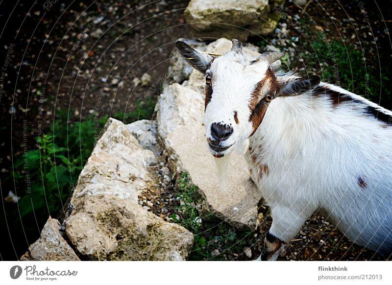 Geissbock Natur weiß Tier Kopf Stein braun Umwelt Erde Fröhlichkeit Neugier Wildtier Bauernhof Schönes Wetter Nutztier Zoo Vogelperspektive