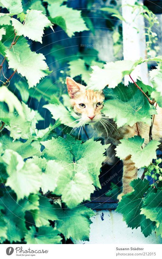 Tigertarnung Pflanze rot Blatt Tier Fenster Katze warten Klettern beobachten wild Wildtier Jagd Wachsamkeit gefangen hocken Ranke