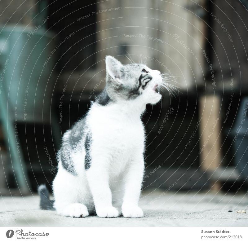 miau weiß Tier Katze Tiergesicht Sauberkeit schreien Fell Wildtier Appetit & Hunger Haustier hören Katzenbaby Tierjunges Miau fordern betteln
