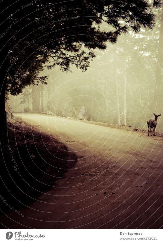 Tief im Wald Ausflug Abenteuer Umwelt Natur Landschaft Pflanze Tier Herbst Nebel Baum Wege & Pfade Wildtier Reh beobachten Jagd dunkel wild Tierliebe