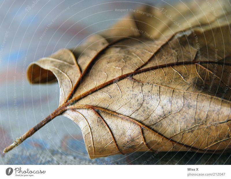Adern Natur Herbst Blatt dehydrieren alt trocken braun Verfall Vergänglichkeit Blattadern Herbstlaub Ahornblatt Farbfoto Gedeckte Farben Innenaufnahme