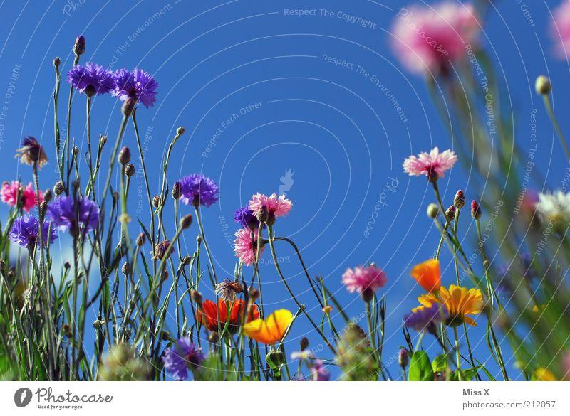 Sommerwiese II Natur Blume Pflanze ruhig Farbe Wiese Blüte Gras Stimmung Wachstum Klima Idylle Blühend Duft positiv