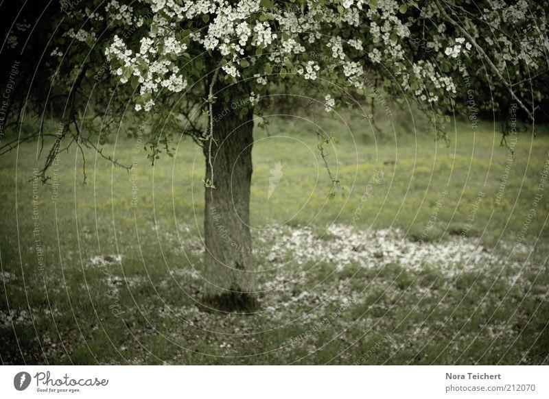 ferner Frühling Natur Pflanze schön Sommer weiß Baum Landschaft Umwelt Blüte Wiese Gras Garten Stimmung Park träumen
