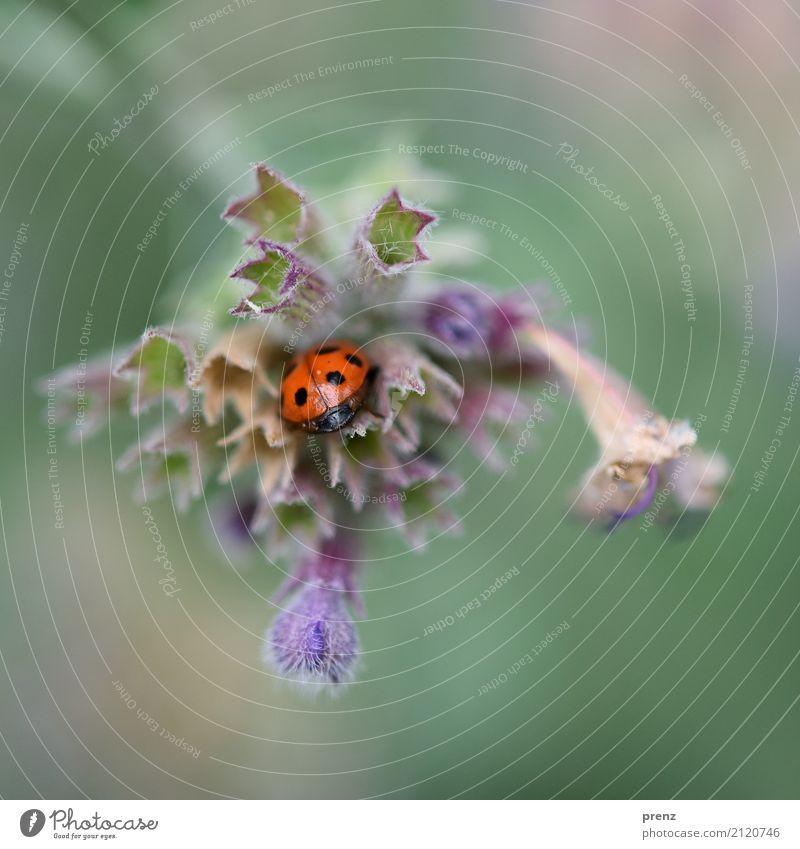 Versteck Umwelt Natur Pflanze Tier Frühling Sommer Schönes Wetter Blume Blatt Blüte Park Wildtier Käfer 1 blau rot verstecken Farbfoto Außenaufnahme Nahaufnahme