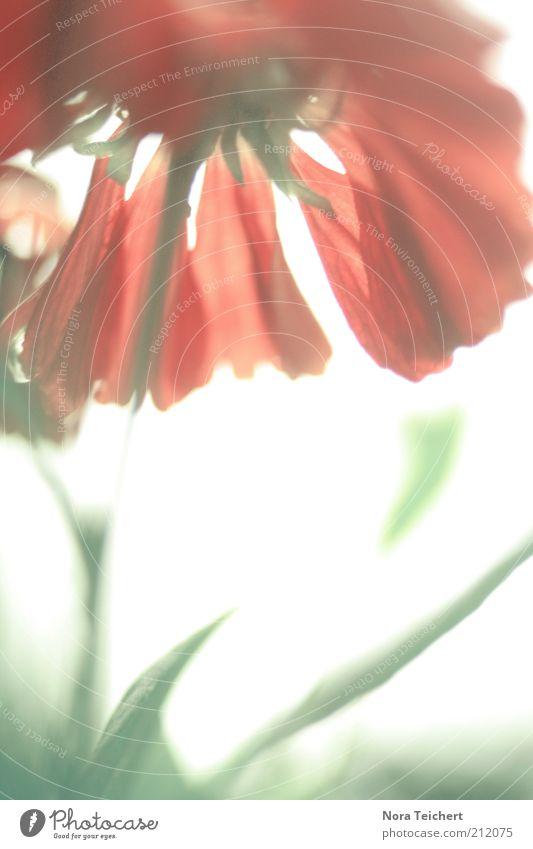Blickwinkel Natur schön Sonne Pflanze rot Sommer Freude Gefühle Blüte Frühling träumen Umwelt frei Fröhlichkeit ästhetisch Klima