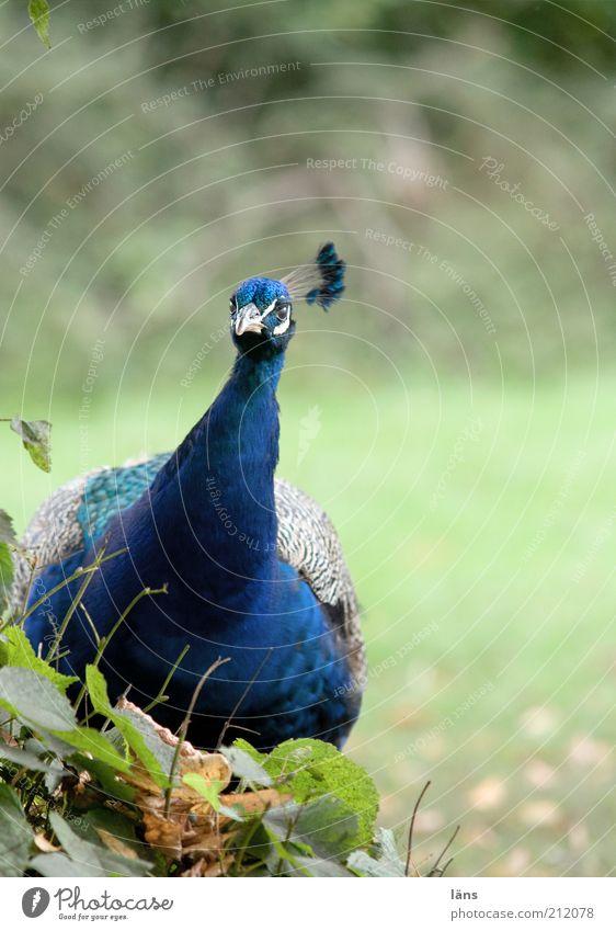 ich bin nicht dick! Basta Übergewicht Tier Park Vogel 1 blau Neugier Pfau Feder Schnabel üppig (Wuchs) Farbfoto mehrfarbig Außenaufnahme Menschenleer