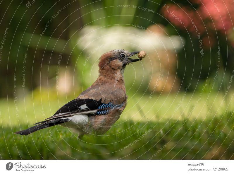 Eichelhäher mit Erdnuss Umwelt Natur Tier Frühling Sommer Herbst Schönes Wetter Blume Gras Garten Park Wiese Wildtier Vogel Tiergesicht Flügel 1 ästhetisch