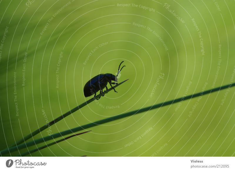 Ende gut, alles ...... Natur Pflanze Gras Käfer 1 Tier klein grün Außenaufnahme Nahaufnahme Makroaufnahme Silhouette krabbeln Halm zart Fühler Textfreiraum oben