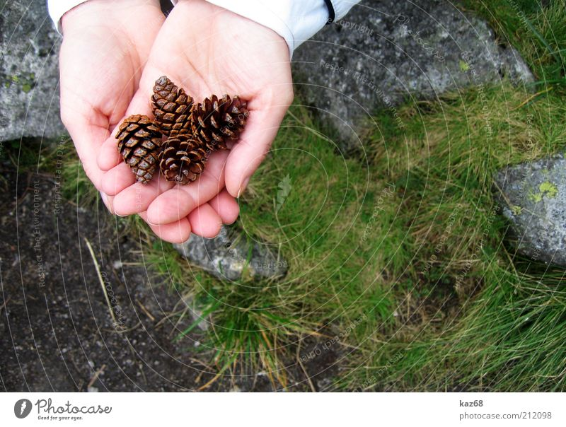 vier alle Haut Hand Umwelt Natur Pflanze Gras Moos Felsen Stein beobachten Duft Freude fleißig Suche finden Sammlung Zapfen Baum 4 Finger Präsentation Samen