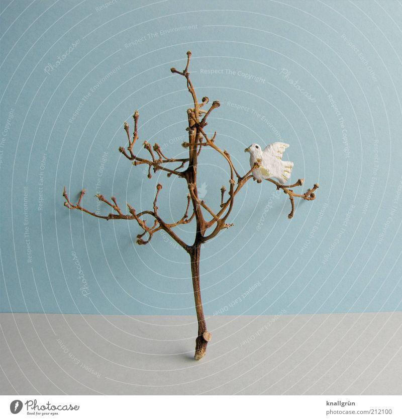 Leben und Tod Pflanze Baum Tier Taube 1 blau braun grau weiß Hoffnung Frieden weiße Taube Pigeon Geäst vertrocknet Farbfoto Gedeckte Farben Studioaufnahme