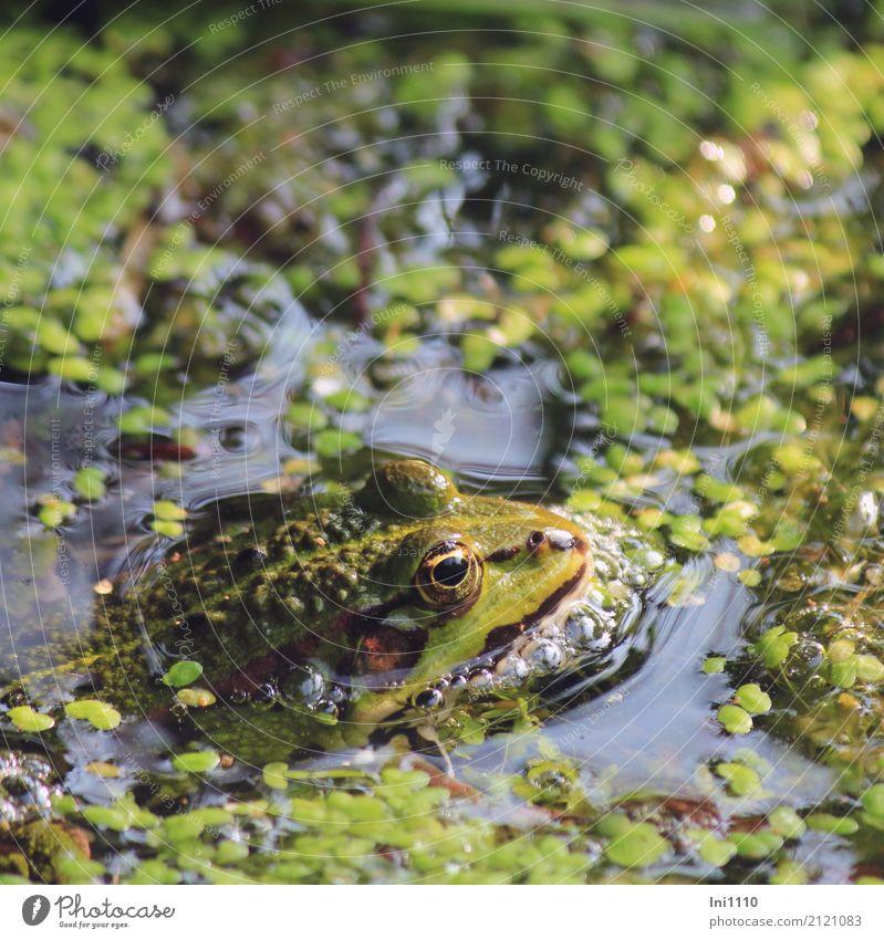 Frosch Umwelt Natur Pflanze Tier Wasser Frühling Schönes Wetter Wildpflanze Wasserlinsen Garten Park Teich Wildtier 1 schön blau braun mehrfarbig gelb gold grau