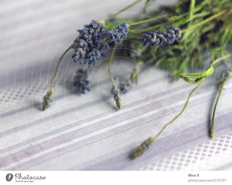 Lavendel Pflanze Farbe Herbst Lebensmittel violett Kräuter & Gewürze Duft trocken Farbenspiel Heilpflanzen Nutzpflanze Provence Wildpflanze Unkraut