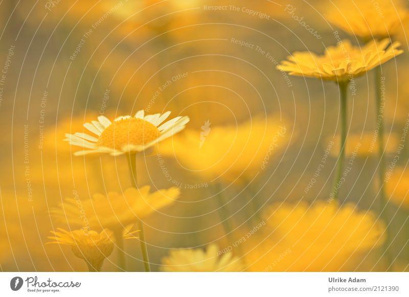 Gelb Natur Pflanze Sommer schön Blume Erholung ruhig gelb Blüte Wiese Garten leuchten glänzend Dekoration & Verzierung gold Geburtstag