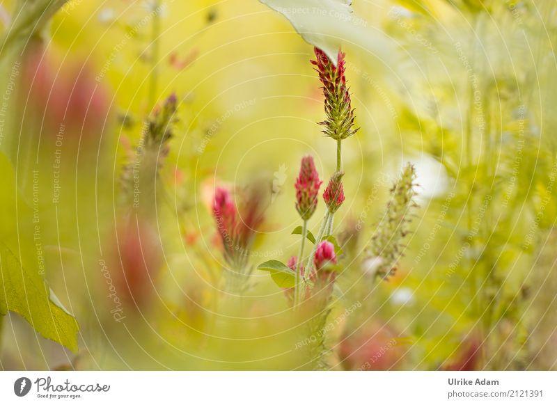 Klee Symphonie Natur Pflanze Sommer grün rot Erholung Blatt ruhig Wärme Blüte Innenarchitektur Wiese natürlich Kunst Design hell