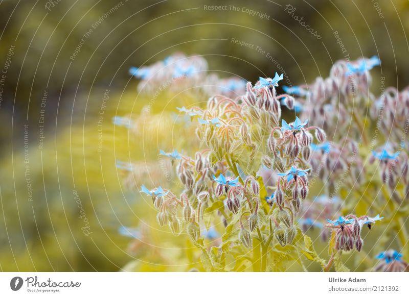 Borretsch (Borago officinalis) elegant Design einrichten Dekoration & Verzierung Tapete Bild Postkarte Natur Pflanze Sonnenlicht Sommer Blatt Blüte Nutzpflanze