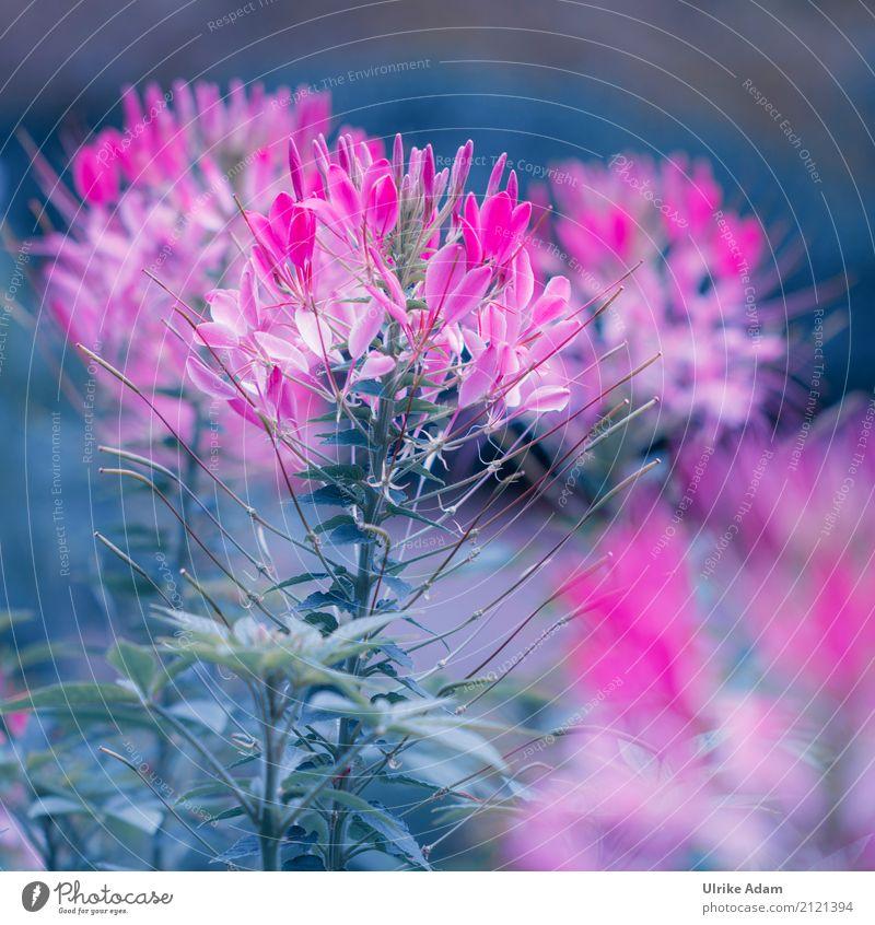 Rosa Leuchten der Spinnenblume Natur Pflanze Sommer Blume Blüte Stauden Beet Blumenstrauß Garten Park Blühend glänzend leuchten verrückt blau grün rosa