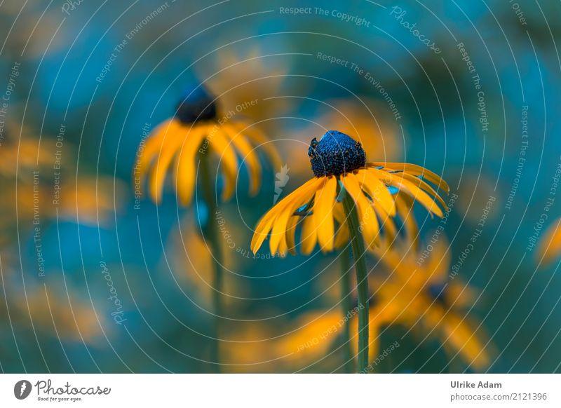 Gelber Sonnenhut (Echinacea) Design Dekoration & Verzierung Tapete Natur Pflanze Sommer Herbst Blume Blüte Roter Sonnenhut Rudbeckie Asteracea Blütenstempel