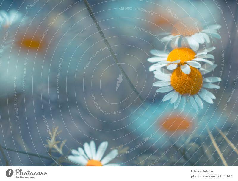 Kamille Natur Pflanze blau Sommer weiß Blume ruhig Blüte Innenarchitektur Gefühle Wiese orange Design Feld Dekoration & Verzierung elegant