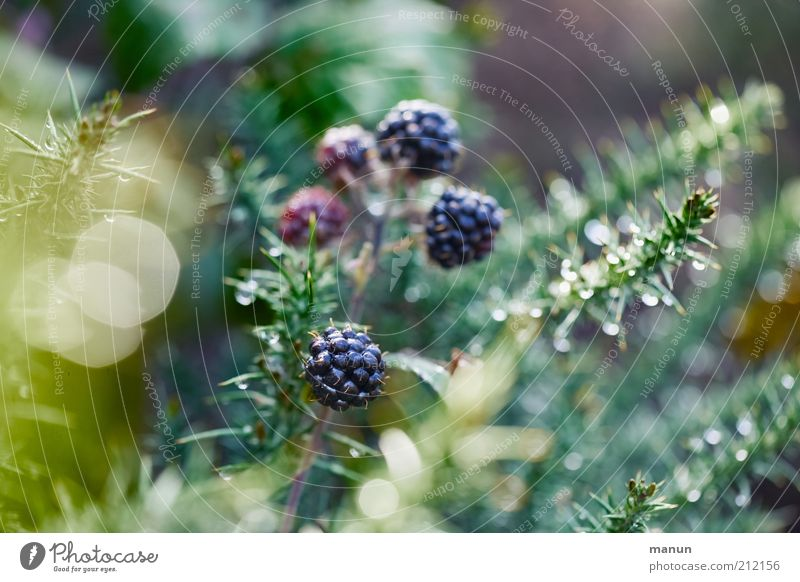 beerig Frucht Beeren Beerenfruchtstand Beerensträucher Ernährung Bioprodukte Vegetarische Ernährung Natur Pflanze Sträucher Nutzpflanze Wildpflanze Brombeeren