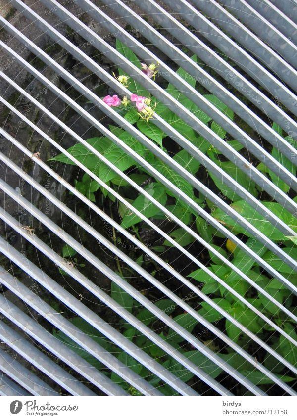 Hinter Gittern? - Egal ! grün Blume Blatt Blüte grau rosa Wachstum Hoffnung Streifen außergewöhnlich diagonal tief gefangen Platzangst Symmetrie parallel