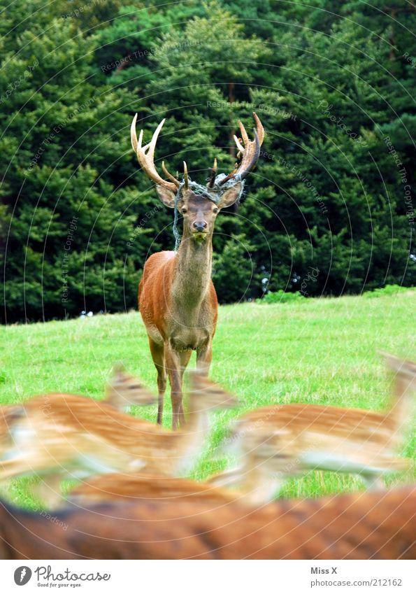 Der furchtlose Dirigent Natur ruhig Tier Wald Wiese Kraft Angst laufen rennen Geschwindigkeit Macht Tiergruppe Zoo Mut stark Wildtier