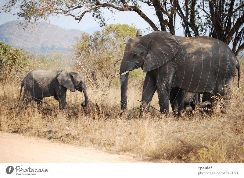 Familienausflug Natur Landschaft Schönes Wetter Baum Sträucher Tier Wildtier Elefant 2 Tierjunges Tierfamilie Bewegung Erholung Fressen gehen stehen