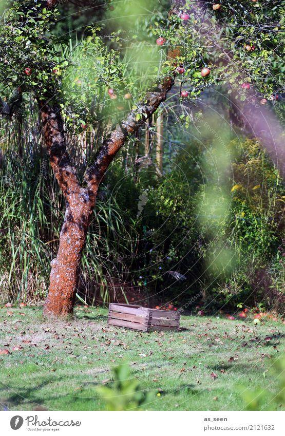 Apfelbaum Frucht Erholung ruhig Garten Erntedankfest Umwelt Natur Sommer Herbst Schönes Wetter Baum Obstbaum Obstkiste hängen alt authentisch einfach nachhaltig