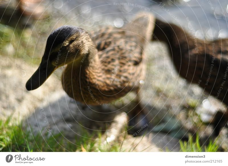 Ente (verschärft) grün Sommer Tier Gras Kopf hell braun glänzend ästhetisch außergewöhnlich stehen nah Seeufer Ente Vogel Entenvögel