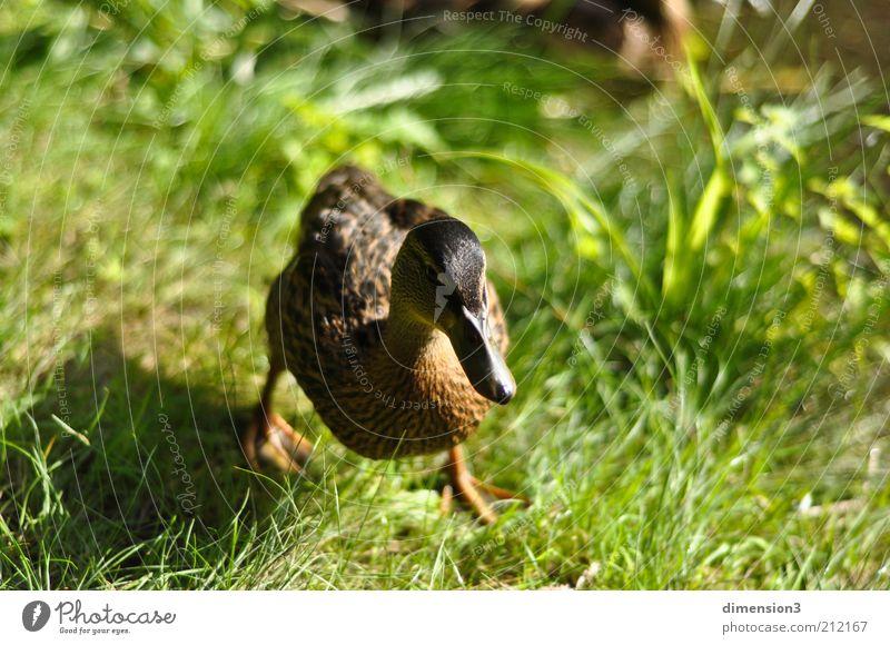 Ente (geschäftig) Natur Sommer Tier Wiese Gras Bewegung Kopf laufen rennen Geschwindigkeit Symbole & Metaphern zielstrebig Vogel Blick