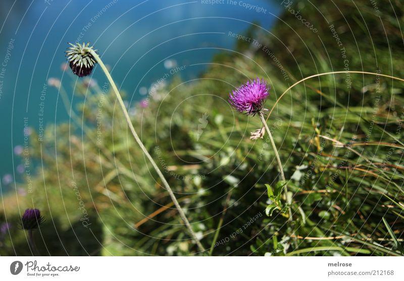 Fartupfer am Lünersee Natur Wasser Blume grün blau Pflanze Sommer ruhig Erholung Blüte Gras Berge u. Gebirge See Zufriedenheit Umwelt violett