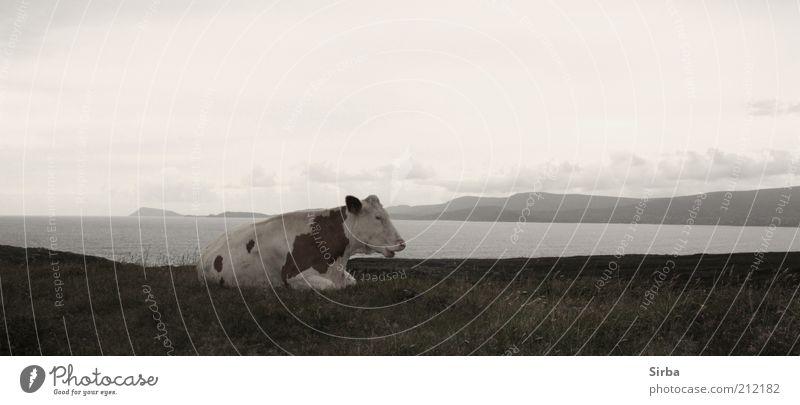Die Milchlieferantin Ferne Freiheit Meer Umwelt Natur Luft Wasser Himmel Wolken Herbst schlechtes Wetter Gras Wiese Feld Küste Kuh 1 Tier liegen schlafen