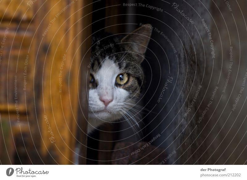 Im Versteck Tier Katze warten Sicherheit Tiergesicht Schutz Fell Neugier entdecken verstecken Wachsamkeit Haustier Interesse Versteck verborgen Schnurrhaar
