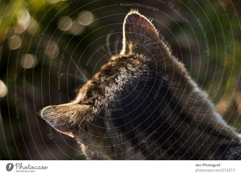 Spitz' die Ohren Tier Haustier Katze Fell 1 hören Jagd warten Neugier Konzentration Farbfoto Außenaufnahme Dämmerung Tierporträt Rückansicht beobachten