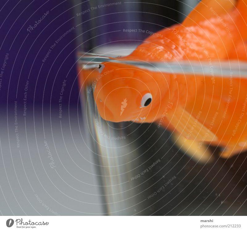 Herr Goldfisch Rudi Tier Haustier Fisch 1 violett orange klein Glas Wasser eng Im Wasser treiben Aquarium Flosse Farbfoto Innenaufnahme Menschenleer