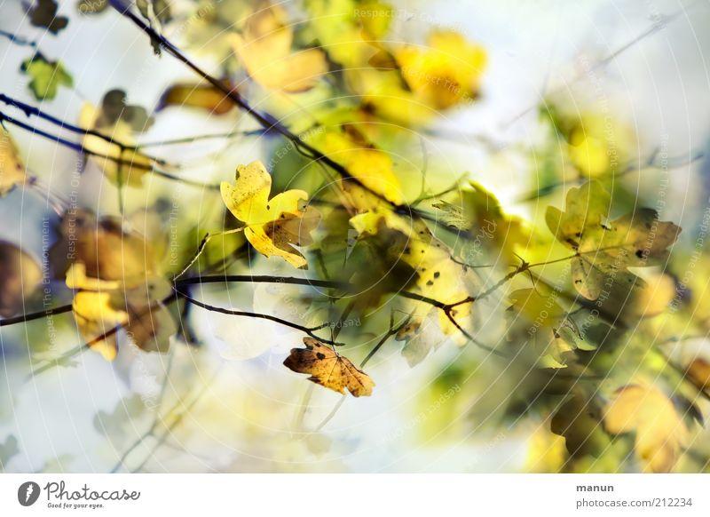 Herbstahorn Natur schön Blatt Herbst Wachstum Vergänglichkeit Wandel & Veränderung Umweltschutz Herbstlaub herbstlich Herbstfärbung Herbstbeginn Zweige u. Äste Herbstwald