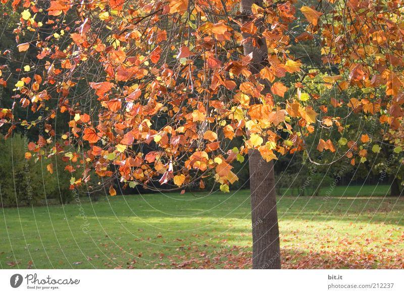 Herbstbaum Natur Pflanze Klima Wetter Schönes Wetter Baum Blatt Park Wiese gelb gold rot Herbstlaub herbstlich Herbstfärbung Herbstwald Herbstwetter