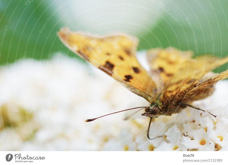 Schmetterling auf Sommerflieder Garten Umwelt Tier Pflanze Blüte Sträucher Fliederbusch Wildtier Insekt Kleiner Fuchs Tagfalter C-Falter Südlicher C-Falter
